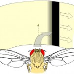 "Fig. 2: ""Inverting goggles"" experiment. Whenever the tethered fly attempts a turning maneuver, the fly's visual panorama is rotated in the same direction. In the depicted example, a right turning maneuver leads to a rotation of the panorama to the right. In this situation, any attempts of the fly to follow the stripe will lead to a catastrophic feedback of increasing speed of the stripe and yaw torque of the fly in the same direction. Nevertheless, flies learn to generate turning maneuvers in the opposite direction in order to establish a zero net rotation of the stripe (optomotor balance). Fly drawing courtesy of Reinhard Wolf."