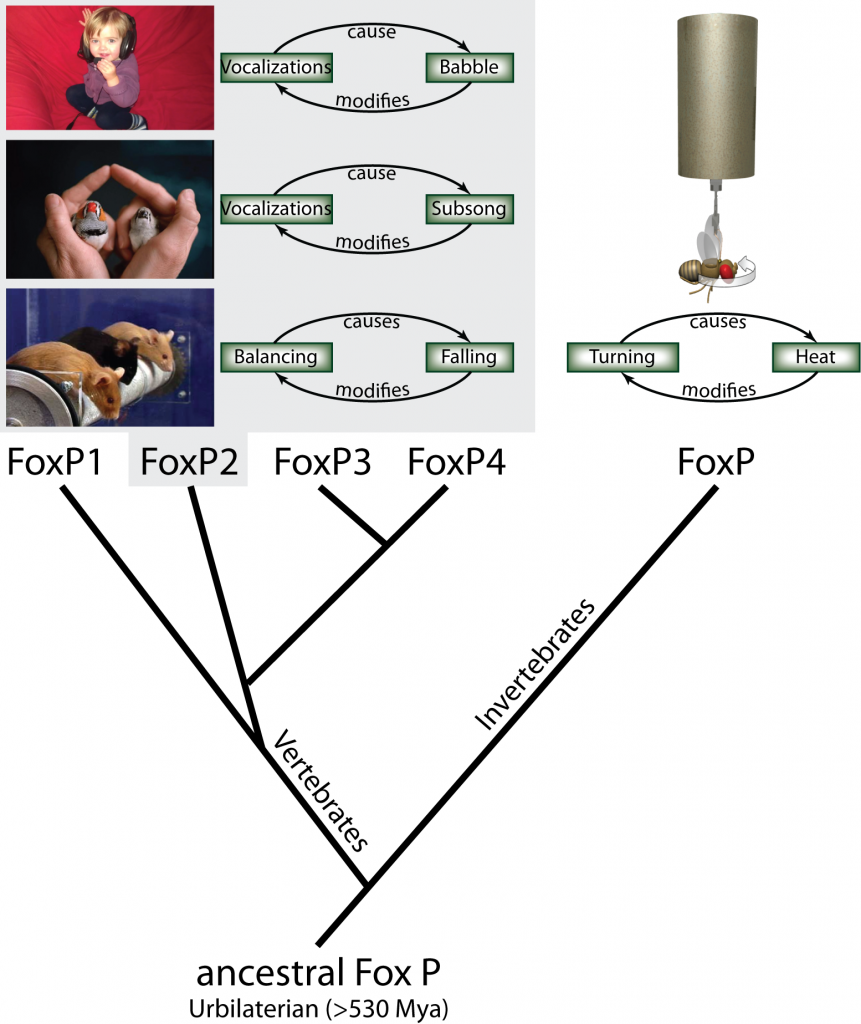 Fig. 1: Using operant conditioning to test invertebrate FoxP function. From the single ancestral FoxP gene, four different genes have evolved in the vertebrate lineage through serial duplications, while invertebrates have retained a single copy of the gene. In an operant feedback loop, spontaneous actions are followed by a given outcome as a consequence. Depending on that outcome being desirable or not, the frequency of the action increases or decreases in the future. For instance, vocalizations of a human infant are followed by the perception of the resulting babbling. The deviation from the intended articulation modifies future vocalizations until language is formed. Similarly, in songbirds, the perceived difference  between the juvenile bird's (right) own subsong and the memorized song from an adult tutor (left) modifies future vocalizations until the species-specific adult song is produced. In mice, balancing in the rotorod experiment is followed by eventual falling, which provides the feedback to improve subsequent balancing movements. All three examples have been shown to be dependent on normal FoxP2 function. Analogously, we have tested fly FoxP function by tethering flies and measuring their turning attempts in stationary flight. Some turning attempts (e.g. to the right) are followed by a punishing heat beam, others (e.g., to the left) are rewarded with turning the beam off. Continuous feedback modifies the fly's turning attempts towards the direction where the heat is off.