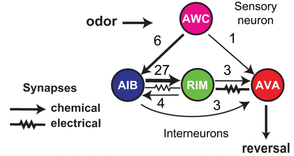 Fig. 1: The C. elegans reversal circuit with the number of electrical and chemical synapses between each network component
