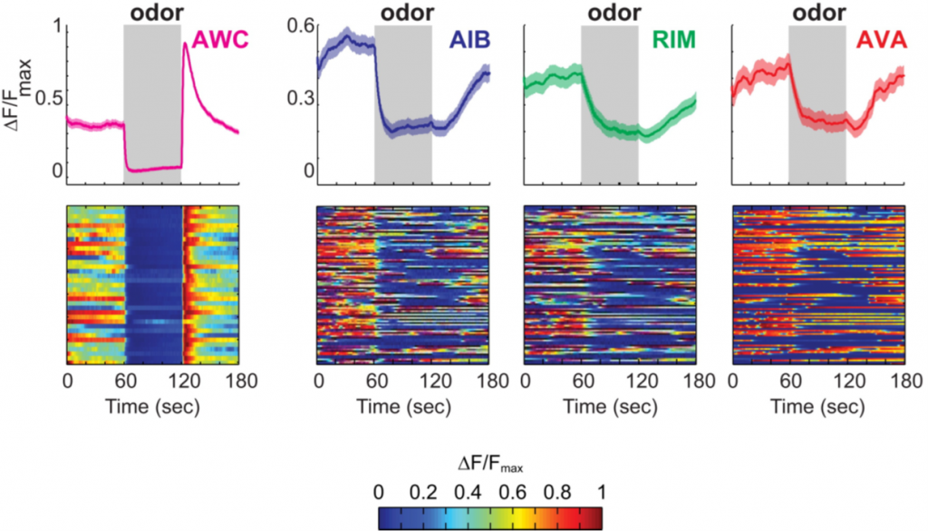 The olfactory neuron AWC responds is drastically more deterministic to an attractive odor than the components of the reversal circuit.
