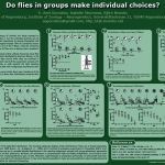 Do flies in groups make individual choices?