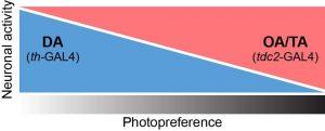 Illustration of the hypthetical balance between octopaminergic/tyraminargic (OA/TA) and dopaminergic (DA) neurons stabilzing the valuation of light/dark stimuli in fruit fly photopreference experiemnts.